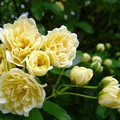 緑のカーテン ツル性植物「モッコウバラ*木香薔薇(黄)(大株)」  です。茎や葉が他の植物や構築物に...