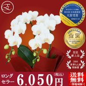モテギ洋蘭園の人気品種「スーパーアマビリス」は、皇室献上品にも選ばれるトップブランド! その質の高さ...