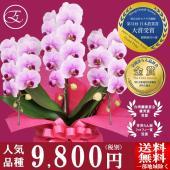 種類:ミディ胡蝶蘭 MS-Pink 「Aporo」 産地:モテギ洋蘭園 高さ:約60cm 幅:約30...
