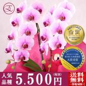 種類:ミディ胡蝶蘭 MS-Pink 「Aporo」 産地:モテギ洋蘭園 高さ:50cm 幅:約25c...