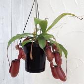 ネペンテスは捕虫袋をもつ人気の食虫植物です。レディラックは、成長すると10〜15cmほどの赤く大きな...