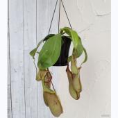 ネペンテスは、日本では、一般的にひょうたんうつぼかずらと呼ばれている、捕虫袋をもつ食虫植物です。捕虫...