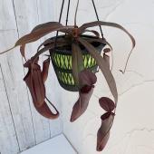 ネペンテスは捕虫袋をもつ人気の食虫植物です。捕虫袋に入った昆虫は、分泌される消化液によって養分が吸収...