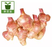 金時生姜の苗です。金時生姜はさわやかな香りと清涼感のある辛味が特徴のショウガです。魚や肉の臭み消し、...
