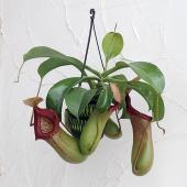 ネペンテスは捕虫袋をもつ人気の食虫植物です。ベントリコーサは、ヒョウタンのようにくびれた形の捕虫袋を...