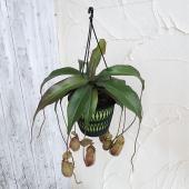 ネペンテスは日本では、一般的にうつぼかずらと呼ばれている、捕虫袋をもつ食虫植物です。捕虫袋に入った昆...