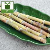 和三盆糖の原料となるサトウキビ、「竹糖」の苗です。草丈は一般のサトウキビより低く、成長しても2mほど...
