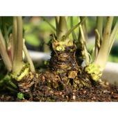 通常のワサビは畑に植えても根が太りません。ところがこの六方沢ワサビは畑でも沢ワサビのように根を太く育...