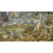 【淡水魚】カワヒガイ  婚姻色が美しい カワヒガイ