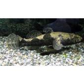 【淡水魚】ドンコ(M)5−10cm 淡水大型ハゼ類 ドンコ