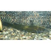 【淡水魚】ギギ(S) 5-6cm