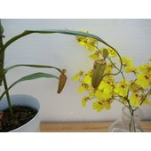 写真は平均的な一例です。  植物の高さ(鉢込み)平均50cm位 (サンプル写真は55cm位)  サイ...