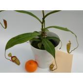 写真は平均的な一例です。  サイズ中 植物の高さ(鉢込み)平均30cm位 サイズ中表示ですが、控え...