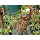 写真は平均的な一例です。  ネペンテス ウツボカズラ ミランダ  シュッとしたクールな捕虫袋が素敵...