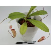 写真は4号の平均的な一例です。  食虫植物  ネペンテス ウツボカズラ Mimiミミ  ベントリコ...