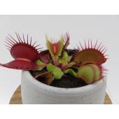 写真は平均的な一例です。  食虫植物 ネペンテス ウツボカズラ Suki2号  2号鉢 鉢の最大直径...