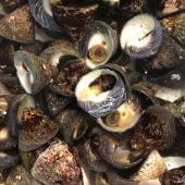 しったか貝  3kg シッタカ  近年テレビでの紹介が増えてきた巻き貝です。 入荷が無くなり次第、終...