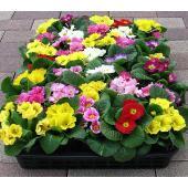 3.5号ポット:1ポットの単価です。 コンパクトな株姿と鮮明な花色が魅力の プリムラジュリアン 冬〜...