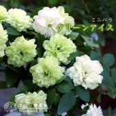 人気のミニバラでなかなか入手しがたい品種です。花径3〜4cmの八重・平咲き、四季咲き性があり、ほぼ年...