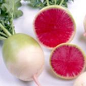 根の直径が7〜8cm、内部の肉色は鮮紅色で美しく、サラダ、浅漬け、おろしに適します。紅色の成分はポリ...