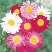 珍しい赤・桃・白などの花色をもつ除虫菊です。開花は春まきで翌年の春から初夏になります。草丈約80cm...