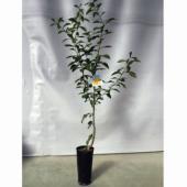 芳香が極めて強く、料理の香りづけや柚風呂、季節の植物として古くから親しまれています。6〜7年で収穫で...