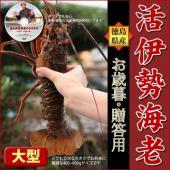 カテゴリ(15442):食品>魚介類、海産物>伊勢エビ  活伊勢海老 500g  ■送料 本州(東北...
