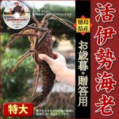 カテゴリ(15442):食品>魚介類、海産物>伊勢エビ  ■ご決済について この商品は生もののため代...