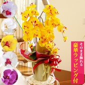 大人気の高級胡蝶蘭を、鉢カバーも豪華に送料無料でお届けします!花言葉は「幸せが飛んでくる」  まさに...