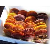 ホタテ貝よりも濃厚な味わいの、活きのいい緋扇貝(ひおうぎ貝)をお届け!  大切な方へのお中元やお歳暮...